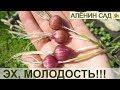 Чеснок семенами или из бульбочек / Омоложение чеснока