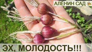 видео семена чеснока