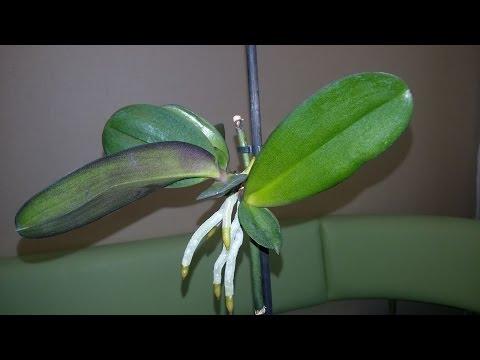 Отделение детки орхидеи фаленопсис от цветаноса в домашних условиях