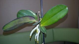 Смотреть видео Как отсадить детку орхидеи в домашних условиях