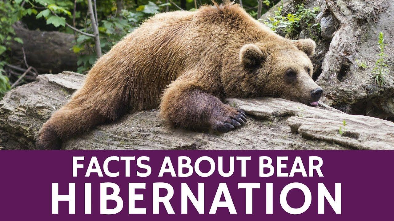 why do brown bears hibernate and make dens in winter. Black Bedroom Furniture Sets. Home Design Ideas