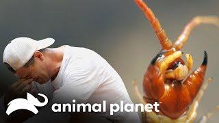 una-escolopendra-gigante-muerde-a-frank-wild-frank-en-busca-del-dragn-animal-planet