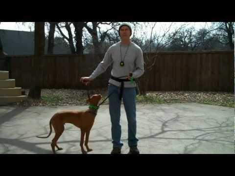 Cody - Pharaoh Hound | DFW dog training | Redeeming Dogs | Tod McVicker - dog trainer