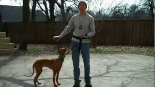 http://redeemingdogs.com Cody is the first Pharaoh hound I've had i...