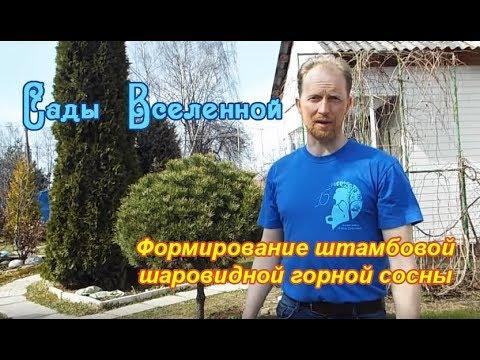 Александр Петров. Формирование штамбовой шаровидной горной сосны