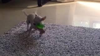 Чихуахуа. Chihuahua. Маленькая собачка. 2018 Pets Чихуахуа воет