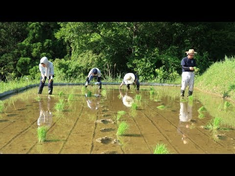 How to Plant Rice  -  Rice Field Terraces in Japan