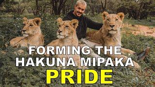 Forming the Lion Pride  Dean Schneider
