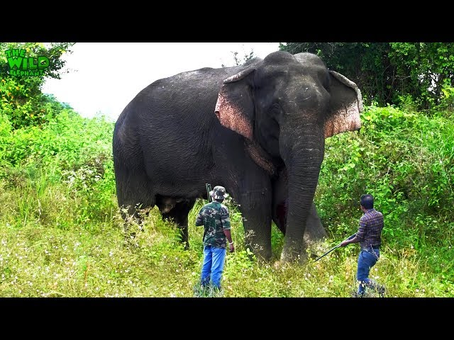 Wounded Wild Elephant-giant wild elephant has wounded one of