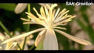 Beautiful flower HD SAK Creation