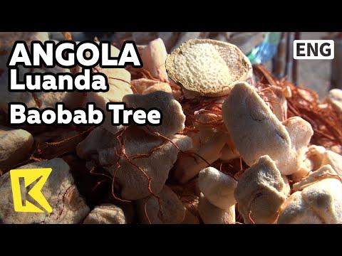 【K】Angola Travel-Luanda[앙골라 여행-루안다]바오밥 나무 열매/Baobab Tree/Little Prince/Fruit