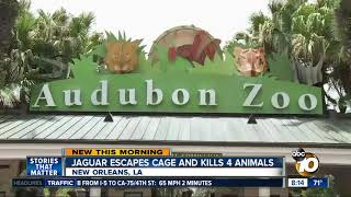 Jaguar escapes cage and kills 6 animals