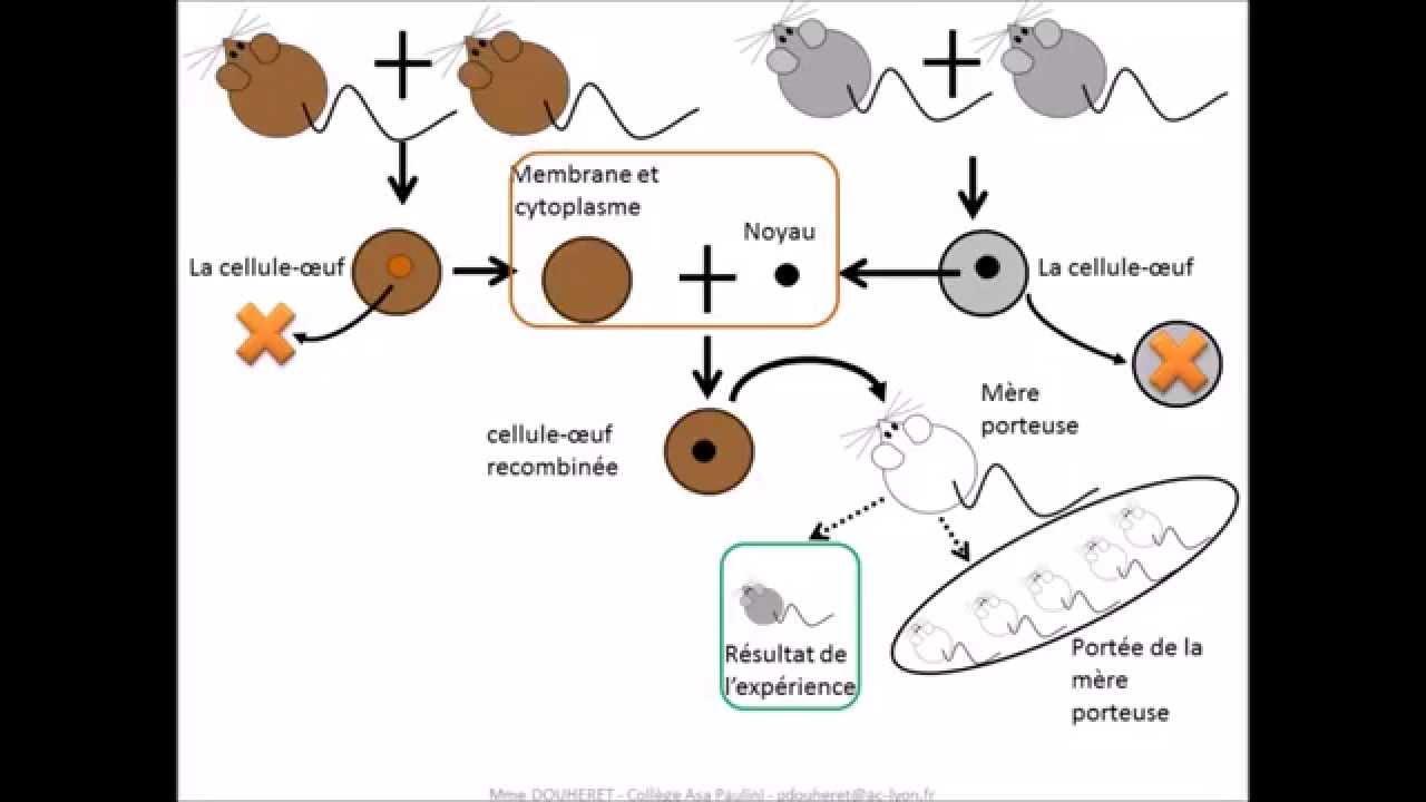 localisation cellulaire de linformation génétique