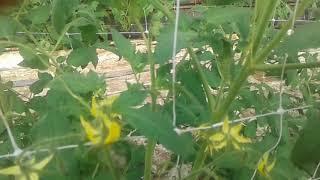 Poda del tomate de crecimiento determinado cultivado dentro de un invernadero Mp3