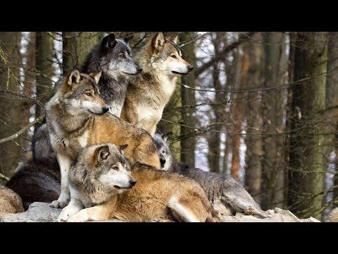 Animal Planet Coywolf: New Hybrid Carnivore