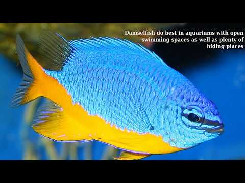 Damselfish - Fish Breed