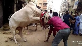 Most Dangerous bull of the year 2020