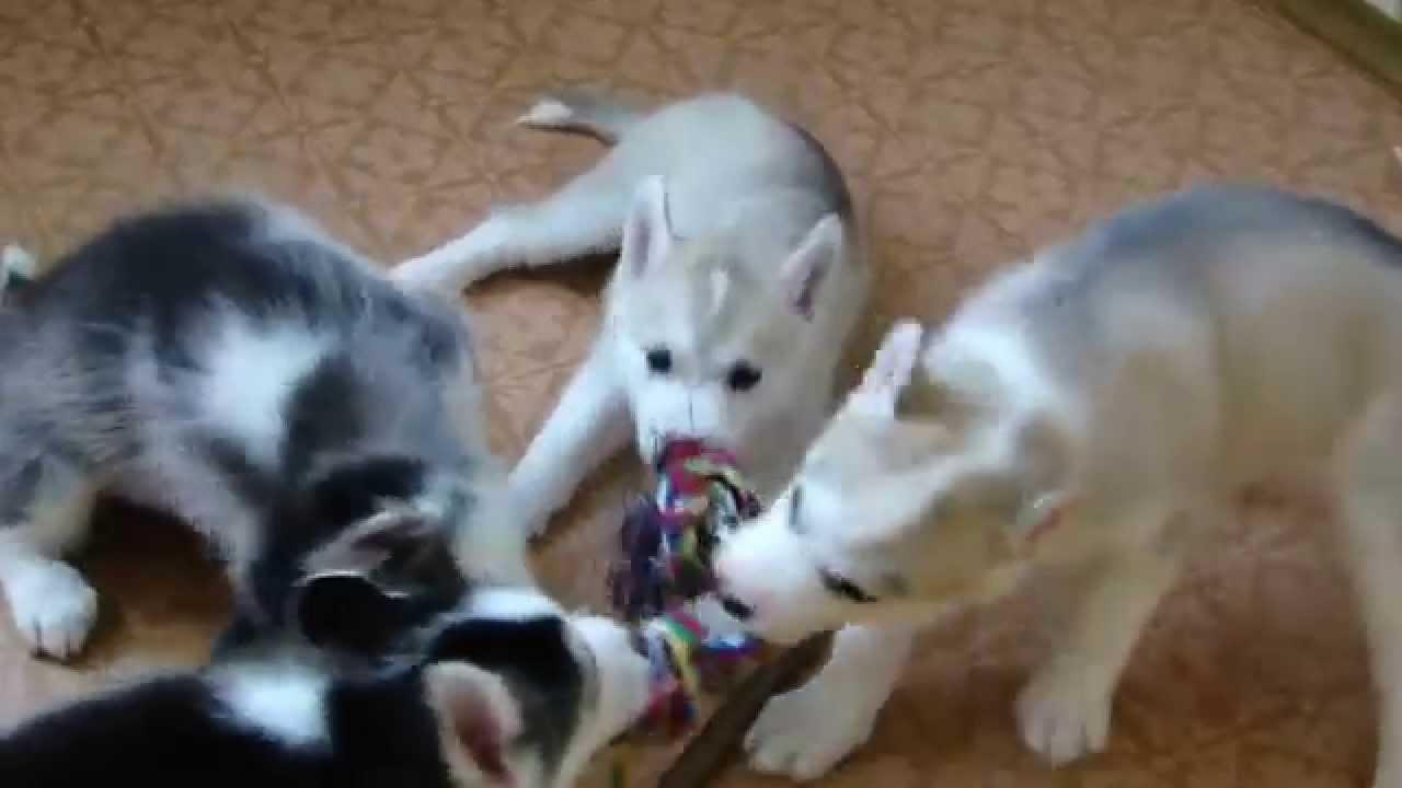 хаски собаки фото щенки