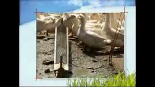 Oies et Canards : des conditions d'élevage précises