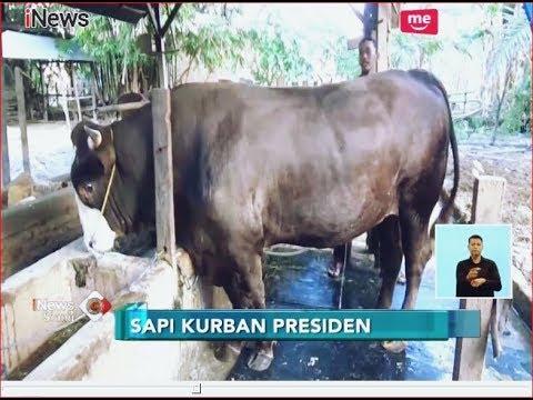Presiden Jokowi Kurban Sapi Jenis Simmental Seberat 1 Ton Di Polewali Mandar - INews Siang 19/08