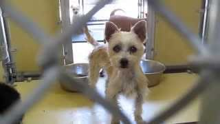Downey Pearl A4731712 Cairn Terrier