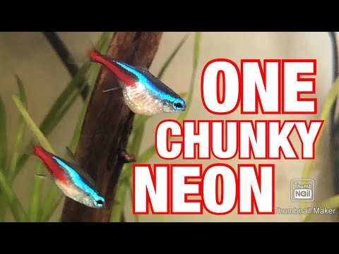 What Is Wrong With This FAT NEON TETRA? (bonus Upload)