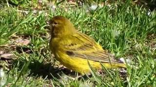 Canary hybrid (prob. x siskin)/ Kanarie kruising (waarsch. x sijs)