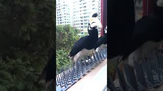 Hornbills in Singapore ... up close and personal at my window