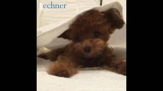 Meet Shu the lovely Teddy Dog!