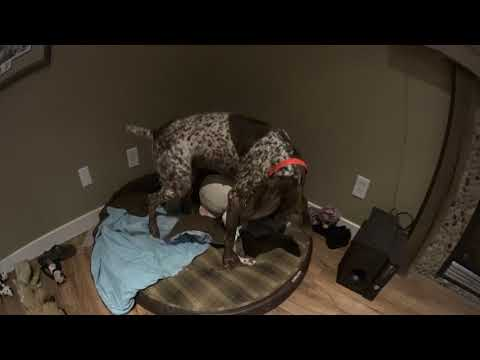 Badger VS Piper - German Shorthaired Pointers