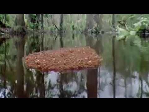 Ants create a lifeboat in the Amazon jungle  - BBC wildlife