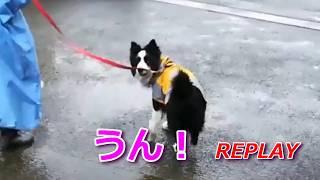 中型犬用のカッパを着て雨の中のお散歩です。 私に今日は「来ないの?」...