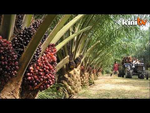 MP: 'Premium' Malaysian palm oil should be priced higher