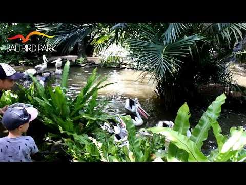Pelican Feeding - Bali Bird Park