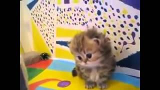 Прикол!!! Персидские котята веселят!