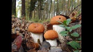 видео Сколько растет белый гриб