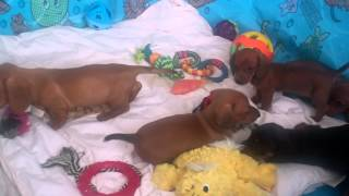 Dachshund Puppies For Sale In Central Pennsylvania