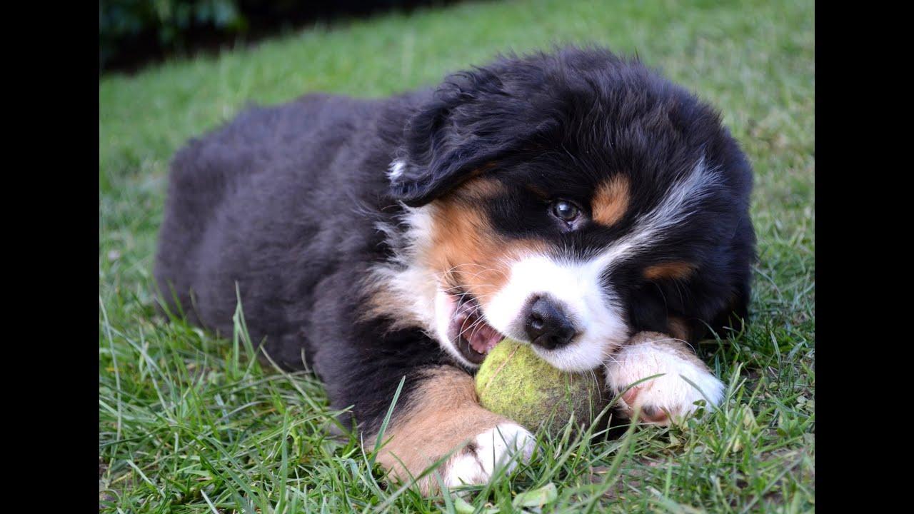 Lilou, bébé chiot bouvier bernois qui joue avec sa balle