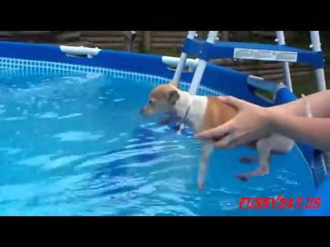 Top Funny Videos Swimming Chihuahua !!!