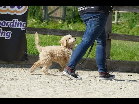 Lola - 15 Week Old Labradoodle Puppy Training
