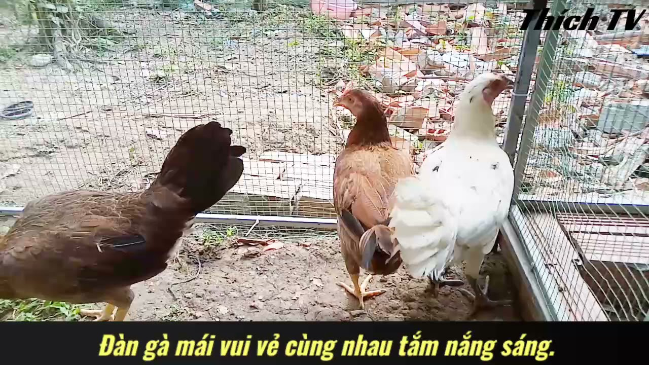 Đàn gà mái vui vẻ cùng nhau tắm nắng sáng.