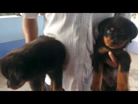 Home Breed Cute & Energetic Rottweiler Puppy Only Rs 12000