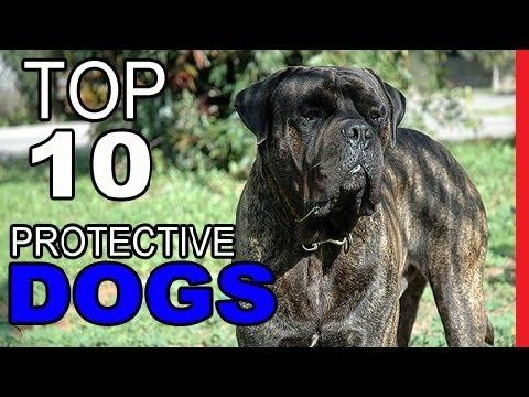 Top 10 Most Protective Dog Breeds   - Video Dogs Breeds - Best Dog Breed Compilation