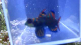 Mandarin Dragonet Training