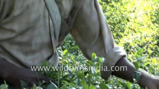 Tea estate in Palampur - Himachal Pradesh