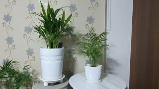 아레카야자, 공기정화식물 1위 ( 아레카 야자와 테이블…