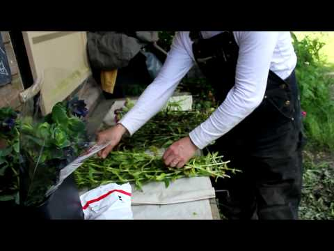 Harvesting Organic Cut Flowers