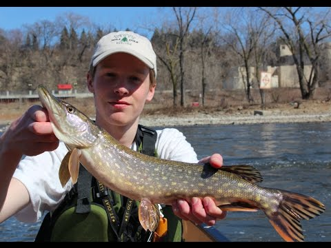 Pike fishing on the mississippi early spring youtube for Mississippi out of state fishing license