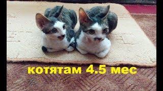 Девон-рекс котята-подростки
