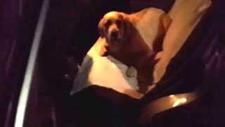 Хозяева уговаривают собаку выйти из машины а она не хочет